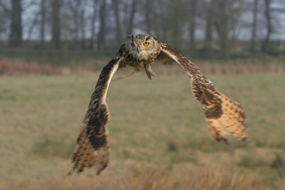 Bengal Eagle Owl Flying